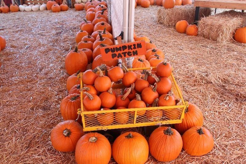 100 Walter U0027s Pumpkin Patch Corn 100 Bergmans
